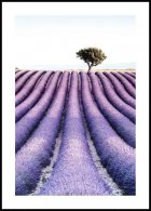 Lavender field tree Poster